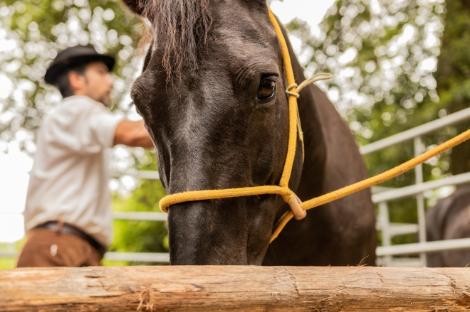 Beautiful brown Italian stallion. Horse markete scene, national selling period for high end animals in the rich countryside. Gentlemen and open air.